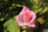 pink-4423543-1280 Bellegarde