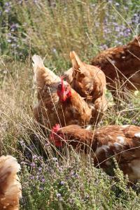Idée de Sortie Montgibaud Visite de Poulehouse  : maison de retraite pour poules