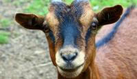 Evenement Vauxbuin Bienvenue à la chèvrerie Myrtille et Compagnie