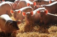 Idée de Sortie Saint Sever du Moustier Visite gratuite d'un élevage de porcs sur paille et dégustation