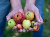 Idée de Sortie Martragny Calvados Time : Récoltez vos pommes et apportez-les au pressoir / goûter sous les pommiers