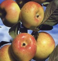 Vergers des fruits anciens Etouars et Soudat Piégut Pluviers