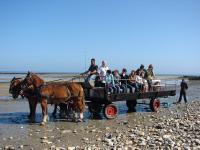 Evenement Castilly Balade en attelage Les parcs à huîtres de la baie des Veys, au rythme des chevaux