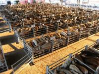 Idée de Sortie Sévérac l'Église Visite guidée du marché aux bestiaux de Laissac (groupe)