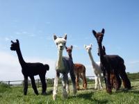 Idée de Sortie Villeneuve DuPrem Alpaga - Visite de la ferme et boutique