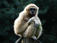 Gibbon-summer Mulhouse