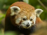 Journee-des-pandas-roux Mulhouse