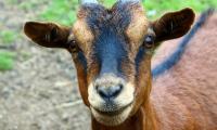 Evenement Saint Pierre Aigle Bienvenue à la chèvrerie Myrtille et Compagnie