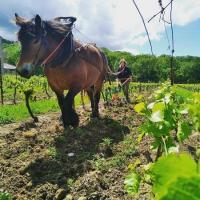 Evenement Cazilhac Démonstration du travail des chevaux de trait dans les vignes