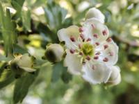 Evenement Caudeval Village des plantes aromatiques