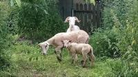 Evenement Calzan Venez conter les moutons