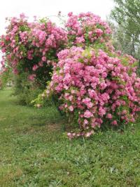 Evenement Villeneuve de Berg Visite d'un arboretum de fruitiers et de rosiers
