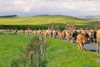 Evenement Laguiole La Vache Aubrac en Transhumance - ANNULEE
