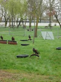 Evenement Coux Journée rapaces et Spectacle de fauconnerie à Terres d'Oiseaux