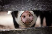 Evenement Aubeterre sur Dronne Fête du cochon