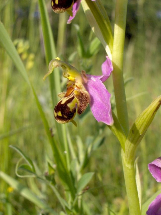 Orchidées en vallée du Suin-Credit-Gilles-DEZECOT