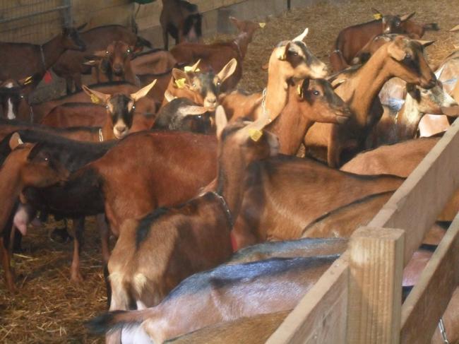Chèvres et fromages à la ferme de Bray-Credit-OT-Mezieres-en-Brenne