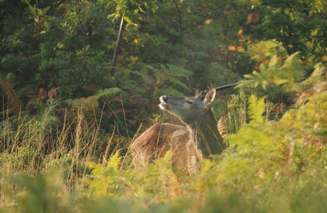 A la découverte des cervidés en forêt de Lancosme-Credit-Kevin-Laloge